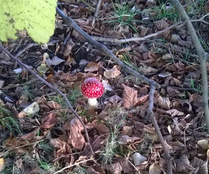 Champignon rouge et blanc forêt d'automne