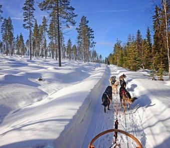 chiens de traîneaux Laponie