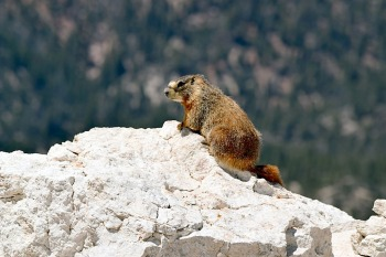 Marmotte au soleil montagne printemps