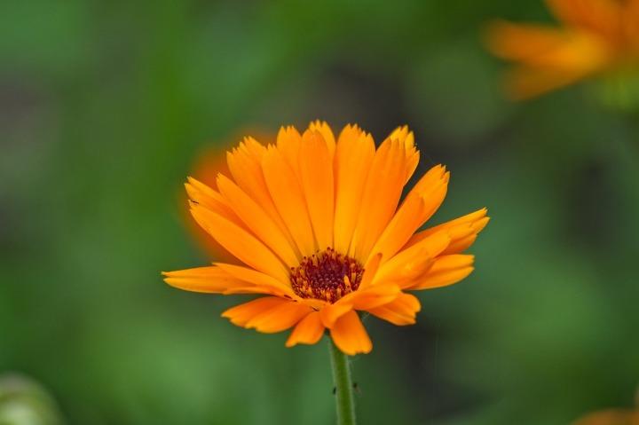 Fleurs soucis