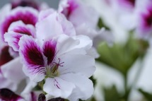 geranium-plante