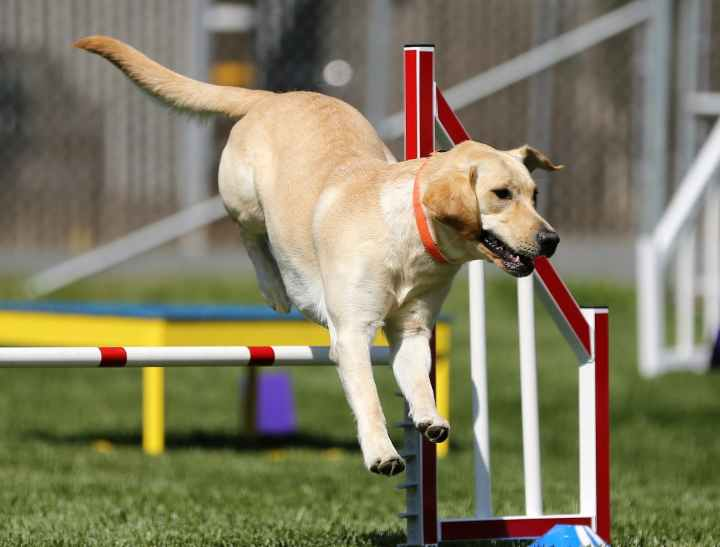 chien agility