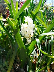 Une jacinthe blanche dans le jardin