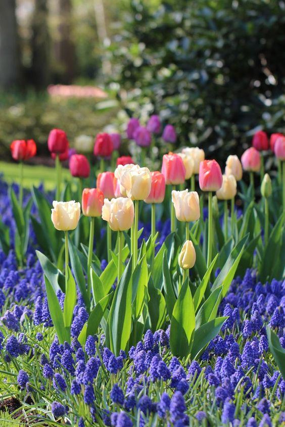 Parterre de fleurs au printemps tulipes