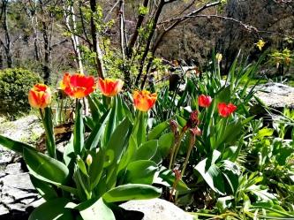 Tulipes rouges et jaunes, parterre printemps