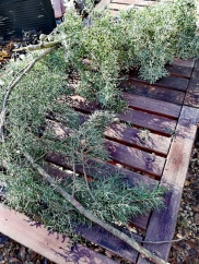 La courbure des branches de sapin