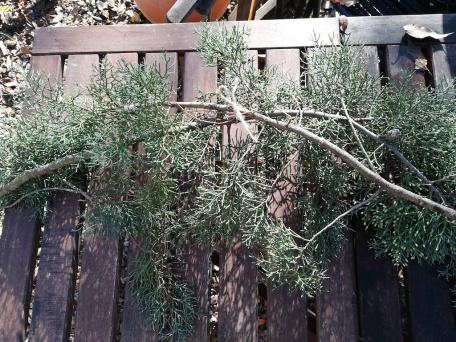Deux branches de sapin liées