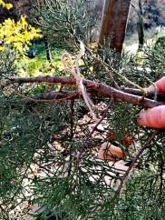 Les branches maintenues avec de la ficelle