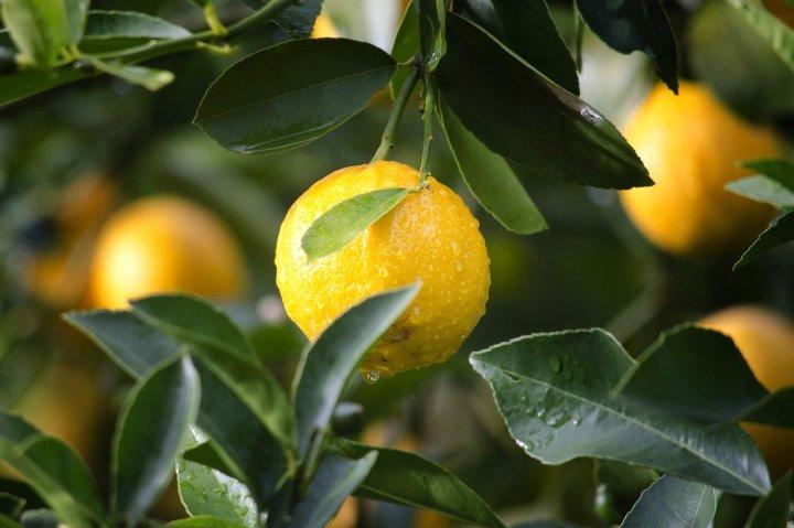 citron-huile-essentielle