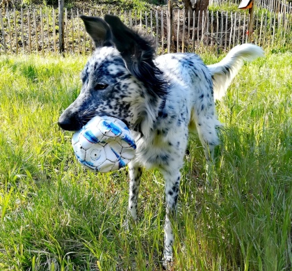 Border Collie et son ballon