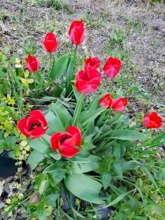 De jolies fleurs rouges